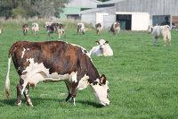 *Коровы